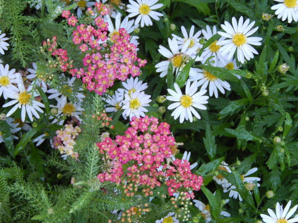 Amazing flower combinations sixteen years of gardening amazing flower combinations daisies and yarrow blueskyrain izmirmasajfo