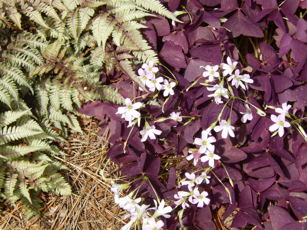 Amazing Flower Combinations Oxialis and Japanese Painted fern BlueSkyRain.com