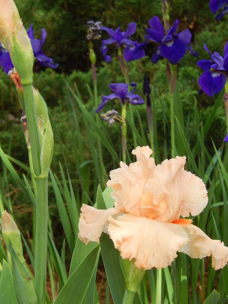 Amazing flower combinations sixteen years of gardening amazing flower combinations peach and purple iris blueskyrain izmirmasajfo Images