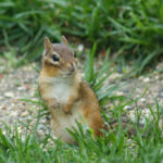 What to do about Chipmunks Chewing Wires in Your Sprinkler System